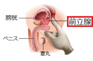 前立腺の図